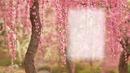Spring Blossums