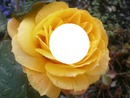 rose jaune laly