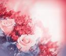 Rosa Rose im Glanz