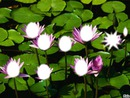 nenufar fleur pixzi
