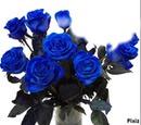 rose bleu 1