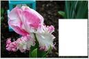 Tulipe rose et blanche