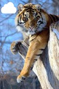 Tigre com nuvem
