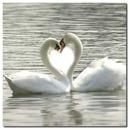romantic Swans Romantique Cygnes coeur