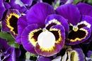 Fleur pensée