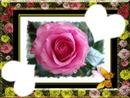 la beautée des roses