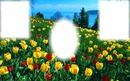 tulipán mező