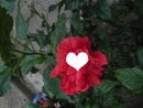 puesta a la rosa