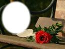Rose rouge sur un banc