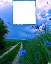 Champs de bleuets