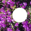 2014 05 31 Bougainvillea Nizza