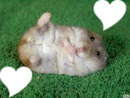 coeur hamster