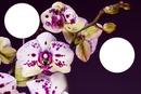 orquidea 2 fotos