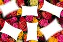 roses bicolore
