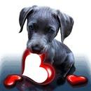 un chiot tekel avec un coeur dans sa gueule 1 photo
