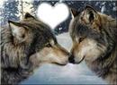 loups qui se fais un bizou