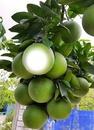 Planta de limones