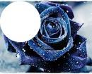 rose bleu 2