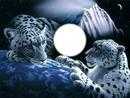 2 tigres