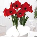 Fleurs Amaryllis