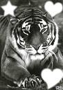 tigre et amour
