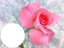 Rose du matin*