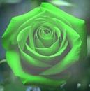 Rosa verde