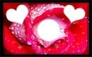 rose verte