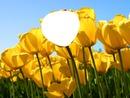 ¿Quiéres ser un tulipán?