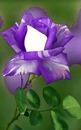 rose mauve