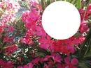2914 7 18 Rosa Oleander
