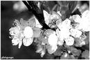L'arbre en fleurs de liloo