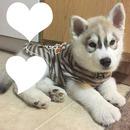 Bébé Husky