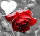 Rose rouge avec neige
