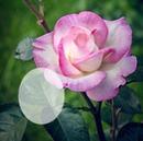 Cc Rosa rosa