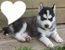 chien Husky <3