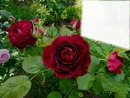 Les roses rouge