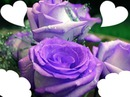 4 photo rose mauves