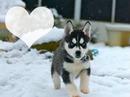 husky bebe <3