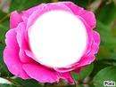e visage dans la rose