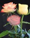 renewilly 3 rosas diversas