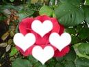 Rose Cath Rose