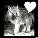 p'tit Loup