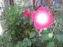 rose Nad