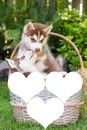 2 huskys dans un panier 3 coeurs cadres