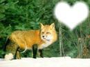 renard coeur