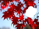 érable japonnais feuille rouge