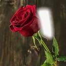 Cc Bella rosa roja