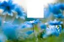 fleur bleue,,,superbe