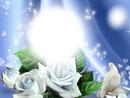 Colombe - roses - fond bleu